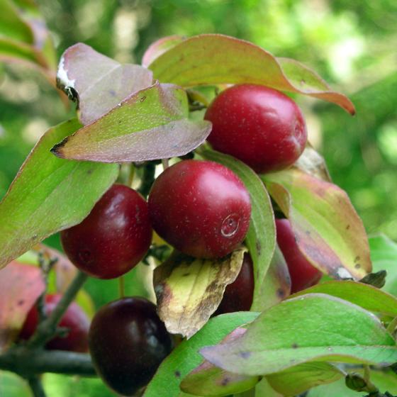 http://www.liqueurs-mellioret.ch/images/arbuste/cornouille_fruit_560.png