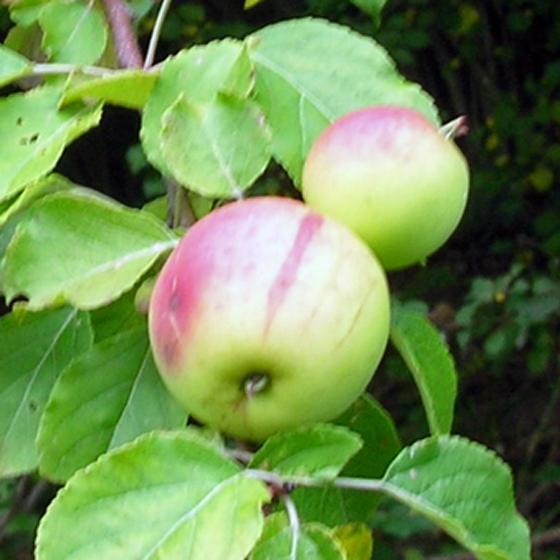 Eau de vie de pomme sauvage - Pommier du japon fruit ...