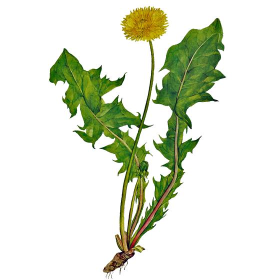 Liqueur de fleurs de pissenlit - Dessin fleur pissenlit ...